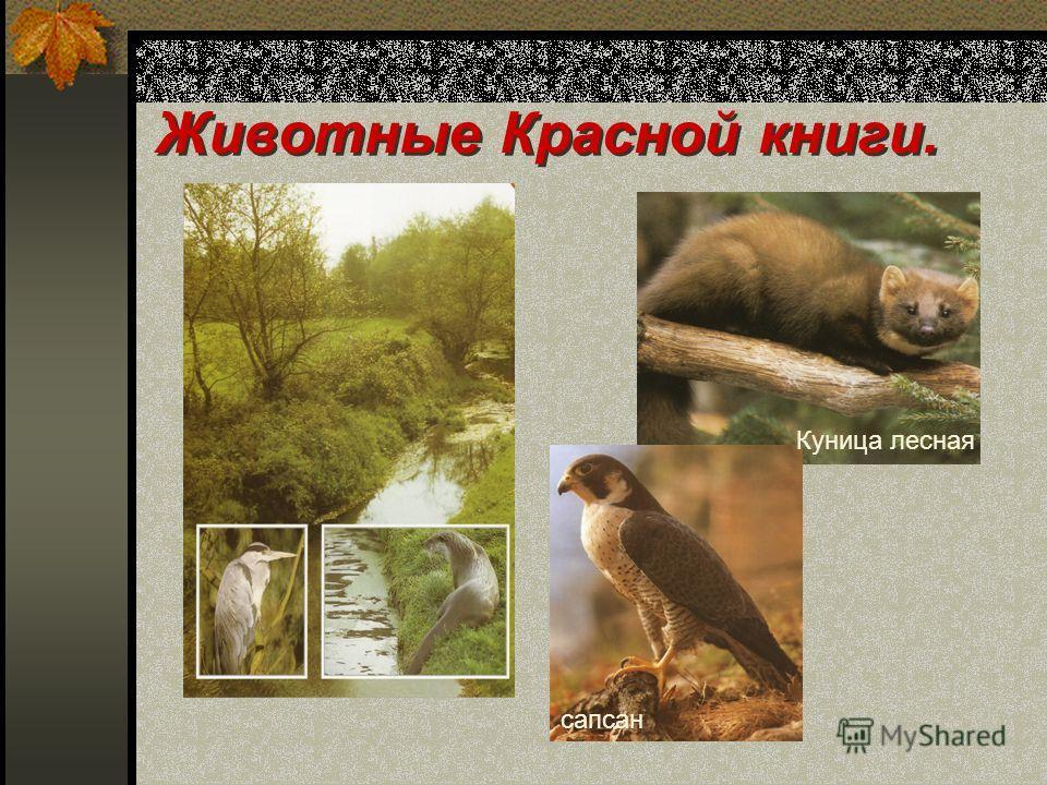 Животные Красной книги. сапсан Куница лесная