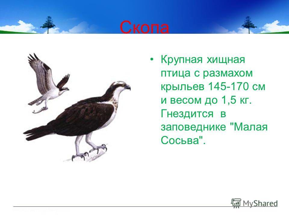 Скопа Крупная хищная птица с размахом крыльев 145-170 см и весом до 1,5 кг. Гнездится в заповеднике Малая Сосьва.