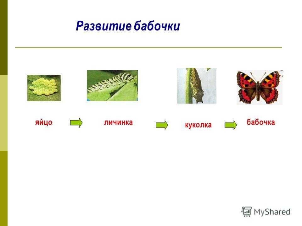 Развитие бабочки яйцоличинка куколка бабочка