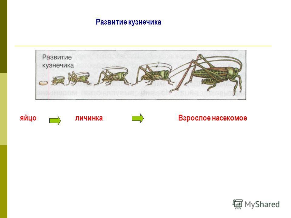 Развитие кузнечика яйцоличинкаВзрослое насекомое