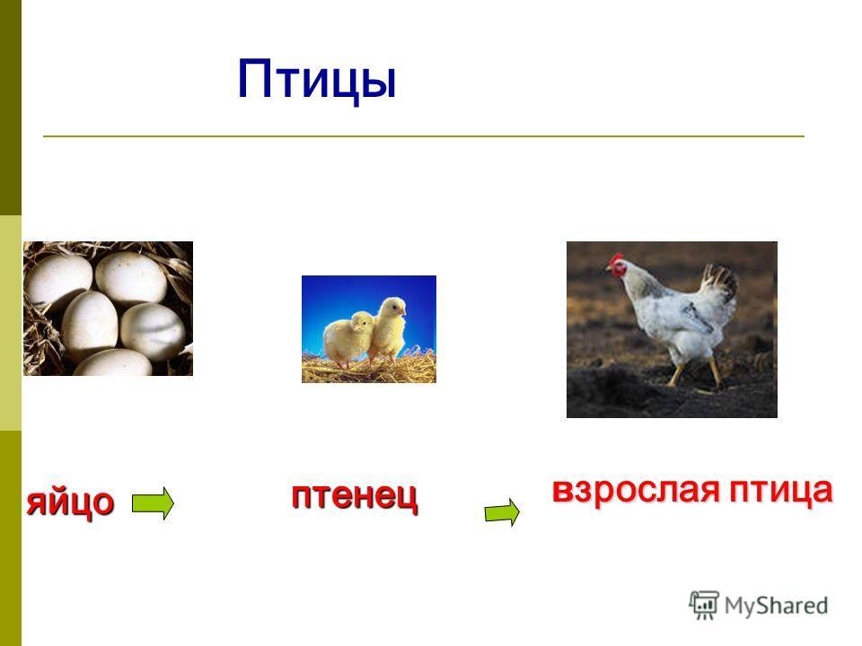 Птицы яйцо птенец в зрослая птица