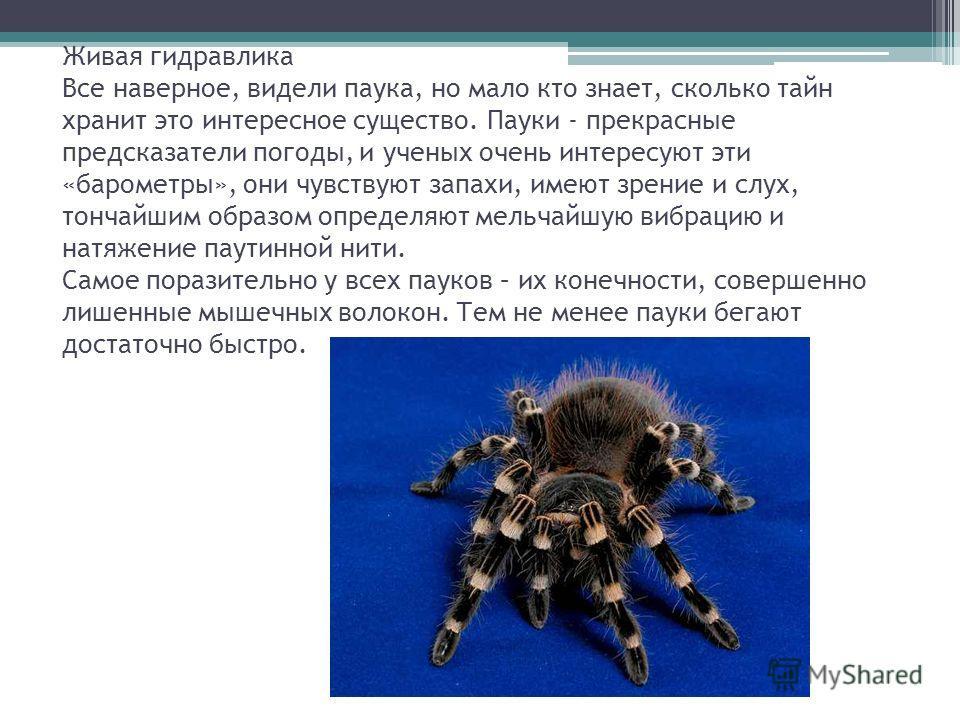 Живая гидравлика Все наверное, видели паука, но мало кто знает, сколько тайн хранит это интересное существо. Пауки - прекрасные предсказатели погоды, и ученых очень интересуют эти «барометры», они чувствуют запахи, имеют зрение и слух, тончайшим обра
