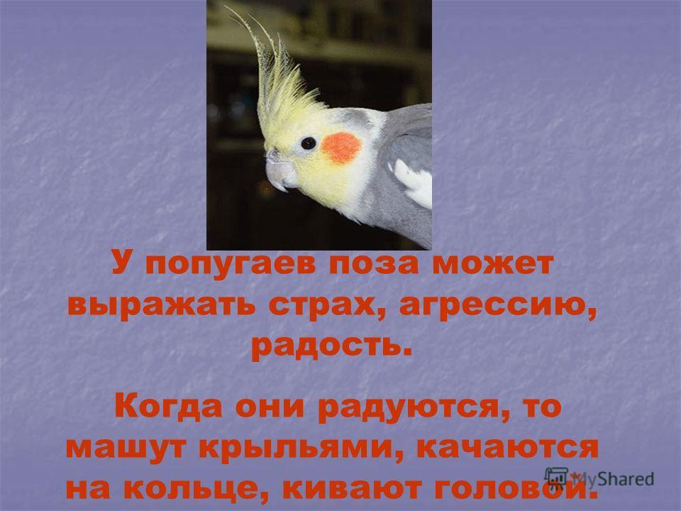 У попугаев поза может выражать страх, агрессию, радость. Когда они радуются, то машут крыльями, качаются на кольце, кивают головой.