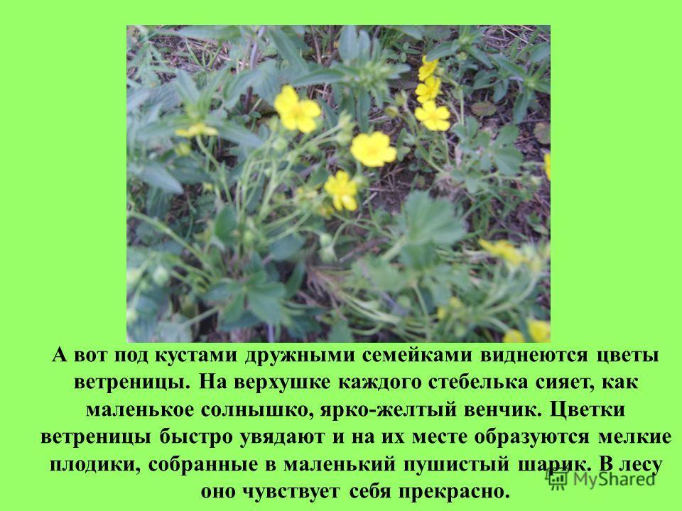 А вот под кустами дружными семейками виднеются цветы ветреницы. На верхушке каждого стебелька сияет, как маленькое солнышко, ярко-желтый венчик. Цветки ветреницы быстро увядают и на их месте образуются мелкие плодики, собранные в маленький пушистый ш