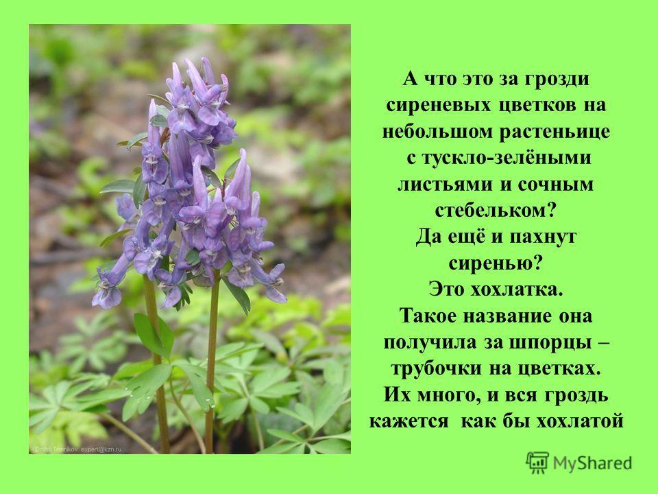 А что это за грозди сиреневых цветков на небольшом растеньице с тускло-зелёными листьями и сочным стебельком? Да ещё и пахнут сиренью? Это хохлатка. Такое название она получила за шпорцы – трубочки на цветках. Их много, и вся гроздь кажется как бы хо