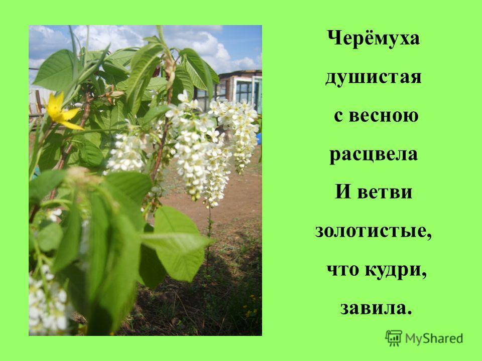 Черёмуха душистая с весною расцвела И ветви золотистые, что кудри, завила.