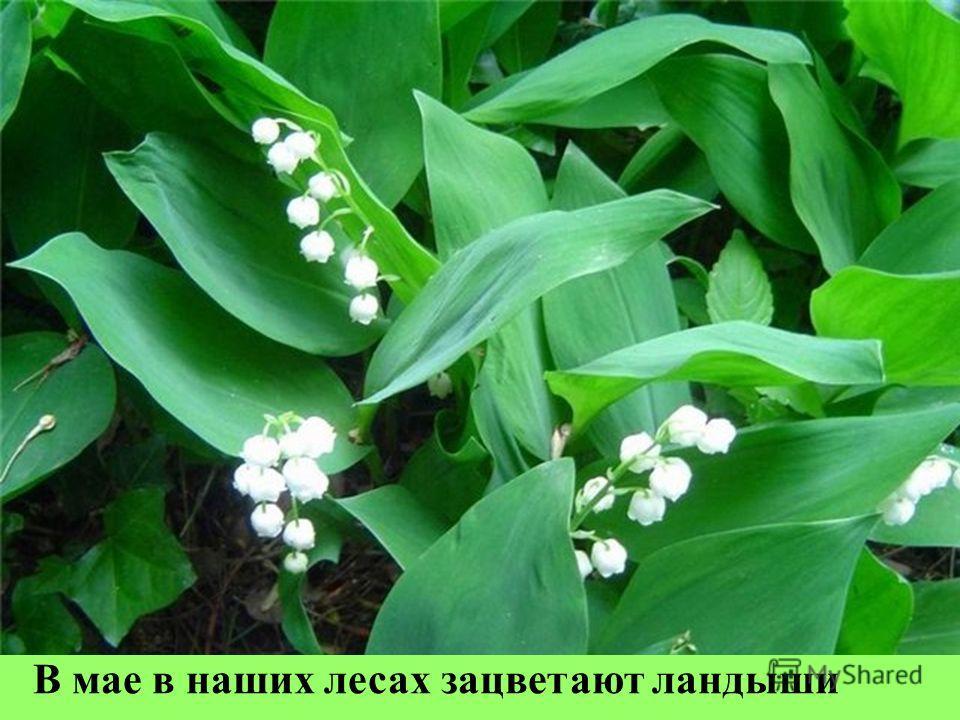 В мае в наших лесах зацветают ландыши