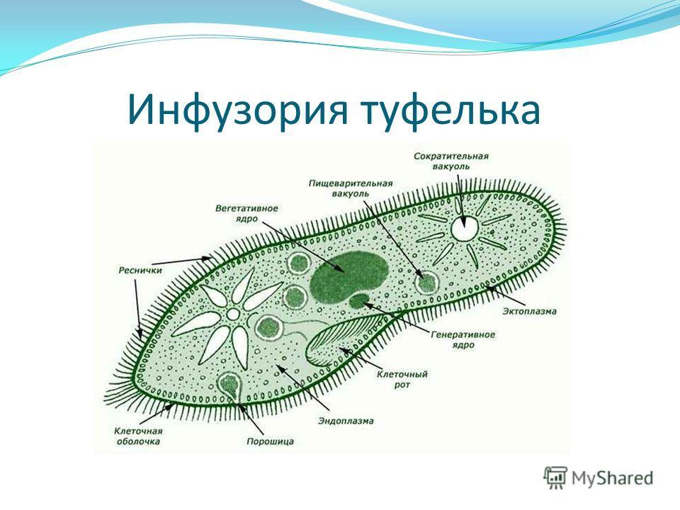 Инфузория туфелька