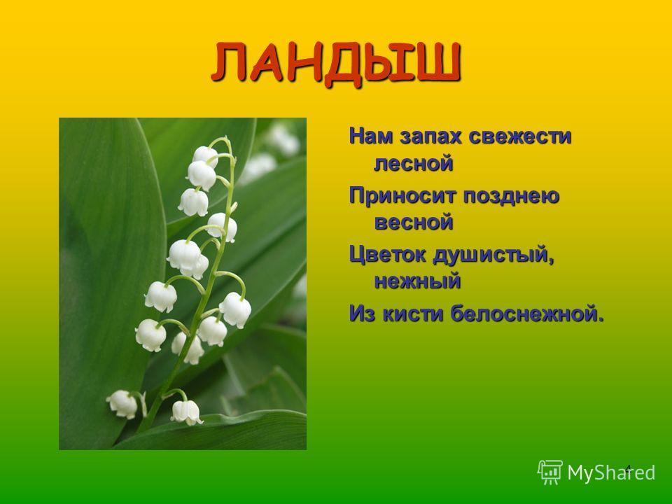4 ЛАНДЫШ Нам запах свежести лесной Приносит позднею весной Цветок душистый, нежный Из кисти белоснежной.