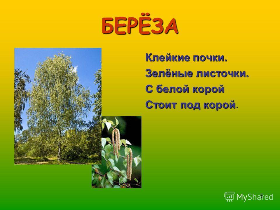 5 БЕРЁЗА Клейкие почки. Зелёные листочки. С белой корой Стоит под корой Стоит под корой.