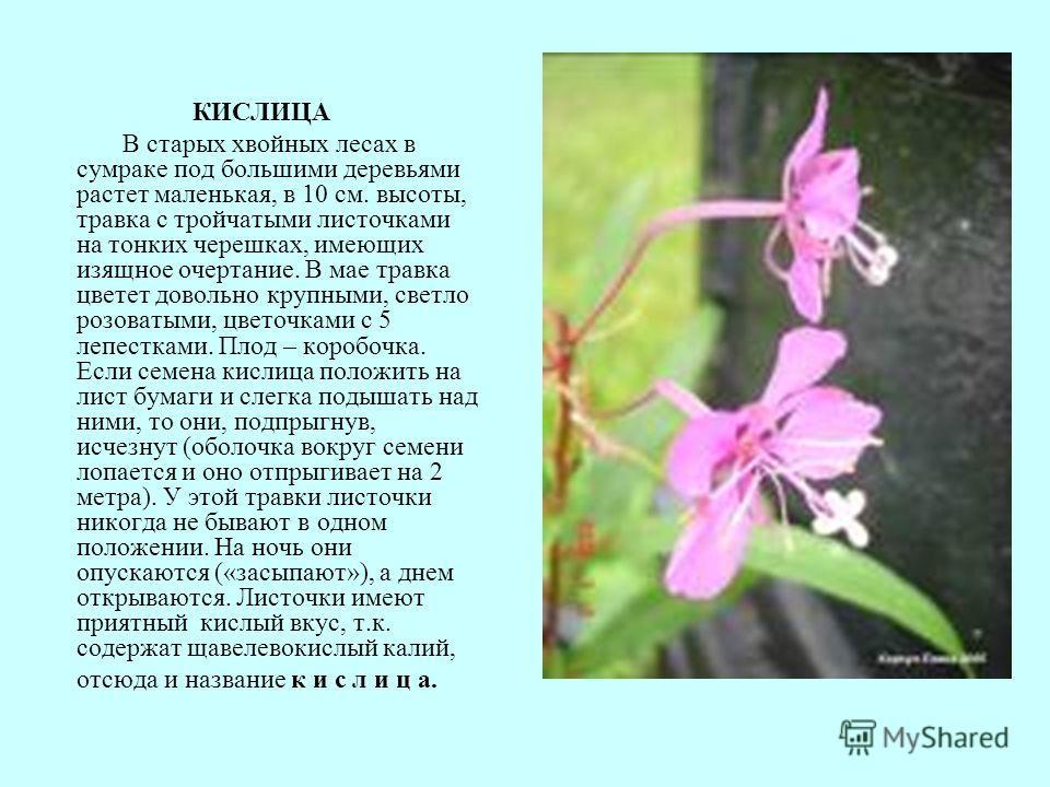 КИСЛИЦА В старых хвойных лесах в сумраке под большими деревьями растет маленькая, в 10 см. высоты, травка с тройчатыми листочками на тонких черешках, имеющих изящное очертание. В мае травка цветет довольно крупными, светло розоватыми, цветочками с 5