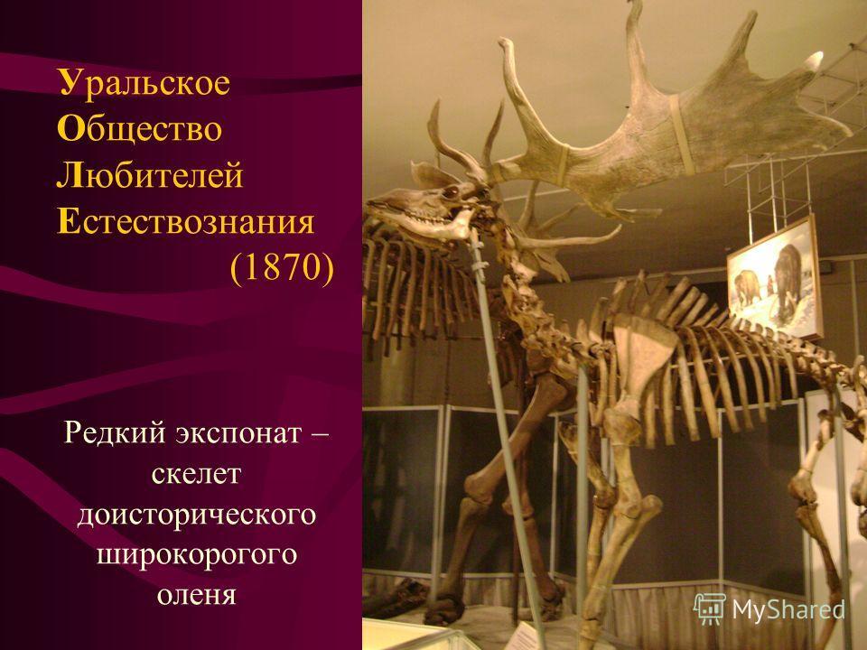 Редкий экспонат – скелет доисторического широкорогого оленя Уральское Общество Любителей Естествознания (1870)