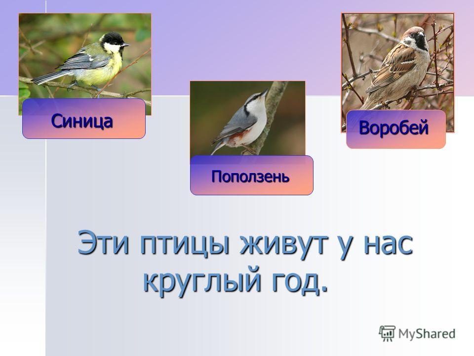 Эти птицы живут у нас круглый год. Поползень Синица Воробей