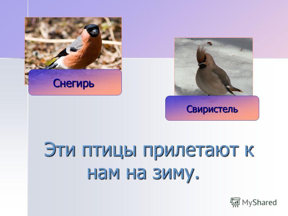 Эти птицы прилетают к нам на зиму. Свиристель Снегирь