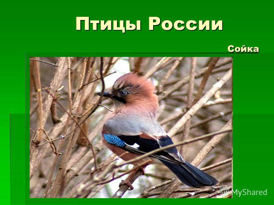 Птицы России Сойка Птицы России Сойка