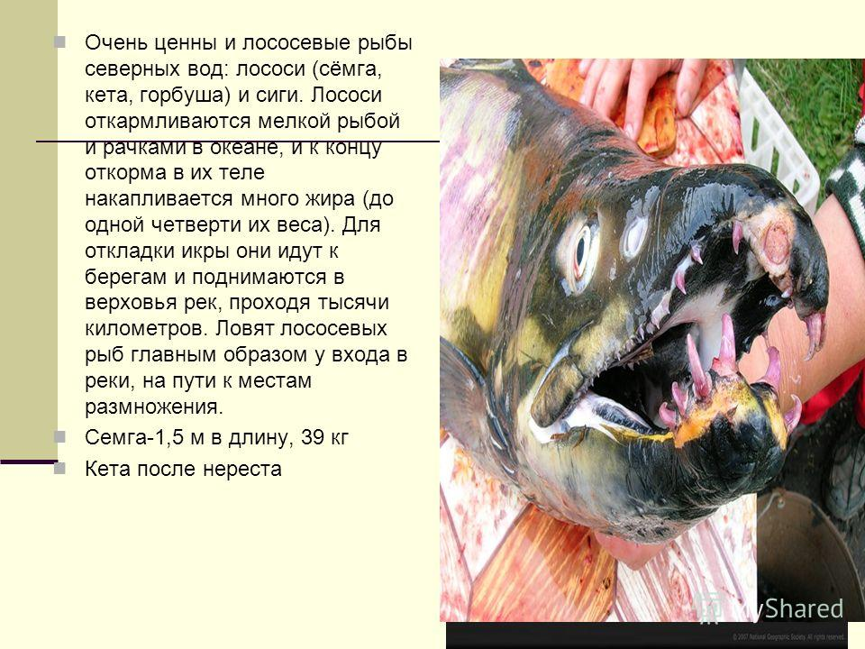 Очень ценны и лососевые рыбы северных вод: лососи (сёмга, кета, горбуша) и сиги. Лососи откармливаются мелкой рыбой и рачками в океане, и к концу откорма в их теле накапливается много жира (до одной четверти их веса). Для откладки икры они идут к бер