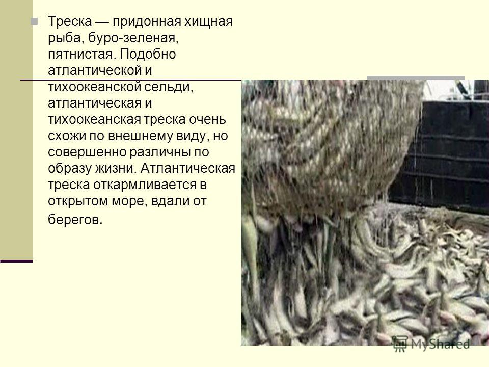 Треска придонная хищная рыба, буро-зеленая, пятнистая. Подобно атлантической и тихоокеанской сельди, атлантическая и тихоокеанская треска очень схожи по внешнему виду, но совершенно различны по образу жизни. Атлантическая треска откармливается в откр