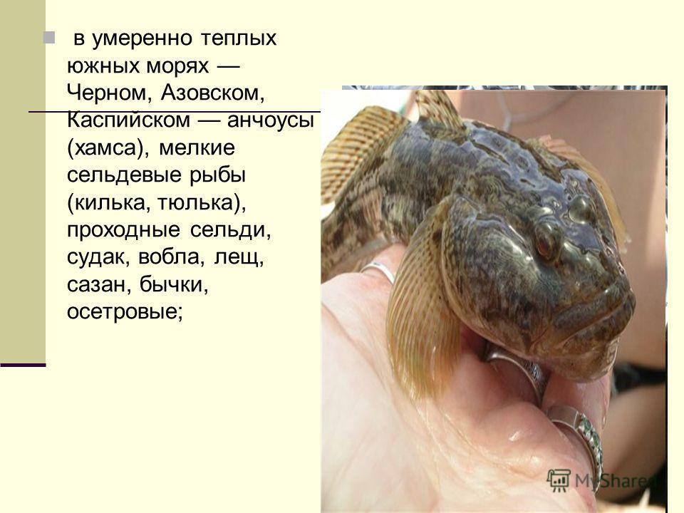 в умеренно теплых южных морях Черном, Азовском, Каспийском анчоусы (хамса), мелкие сельдевые рыбы (килька, тюлька), проходные сельди, судак, вобла, лещ, сазан, бычки, осетровые;