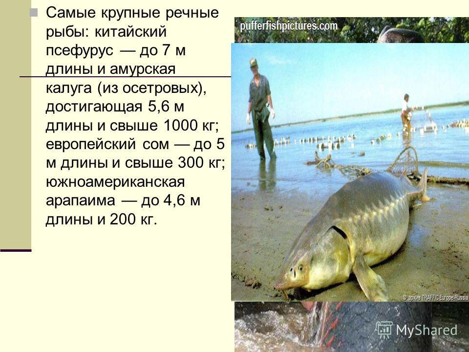 Самые крупные речные рыбы: китайский псефурус до 7 м длины и амурская калуга (из осетровых), достигающая 5,6 м длины и свыше 1000 кг; европейский сом до 5 м длины и свыше 300 кг; южноамериканская арапаима до 4,6 м длины и 200 кг.