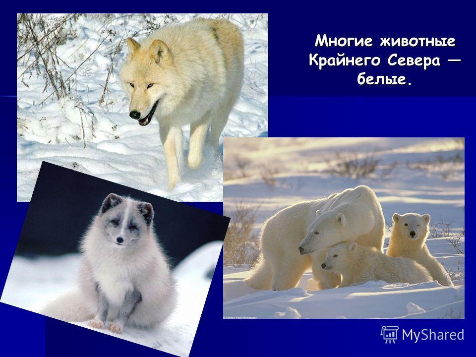 Многие животные Крайнего Севера белые.