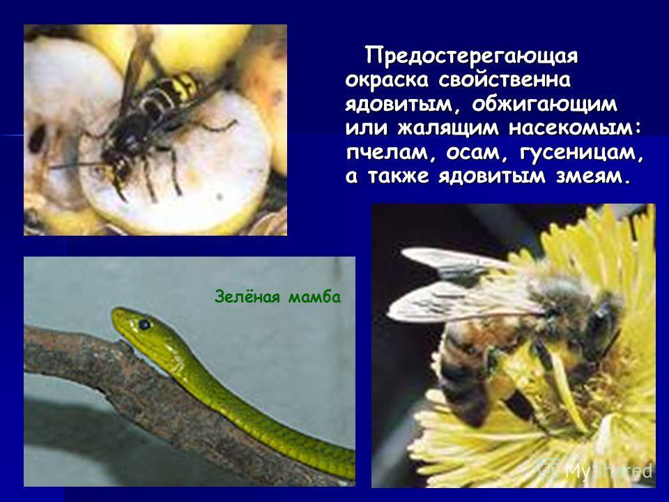 Предостерегающая окраска свойственна ядовитым, обжигающим или жалящим насекомым: пчелам, осам, гусеницам, а также ядовитым змеям. Предостерегающая окраска свойственна ядовитым, обжигающим или жалящим насекомым: пчелам, осам, гусеницам, а также ядовит
