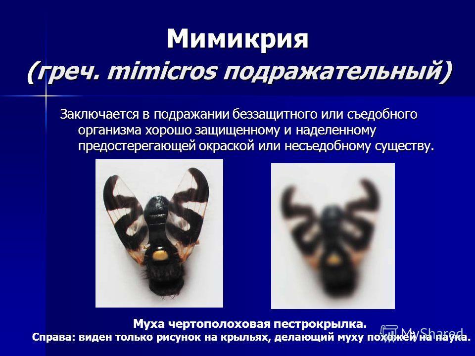Мимикрия (греч. mimicros подражательный) Заключается в подражании беззащитного или съедобного организма хорошо защищенному и наделенному предостерегающей окраской или несъедобному существу. Муха чертополоховая пестрокрылка. Справа: виден только рисун