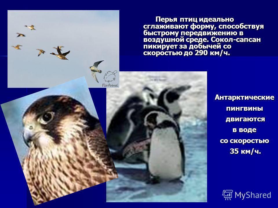 Перья птиц идеально сглаживают форму, способствуя быстрому передвижению в воздушной среде. Сокол-сапсан пикирует за добычей со скоростью до 290 км/ч. Антарктическиепингвины двигаются двигаются в воде со скоростью 35 км/ч. 35 км/ч.