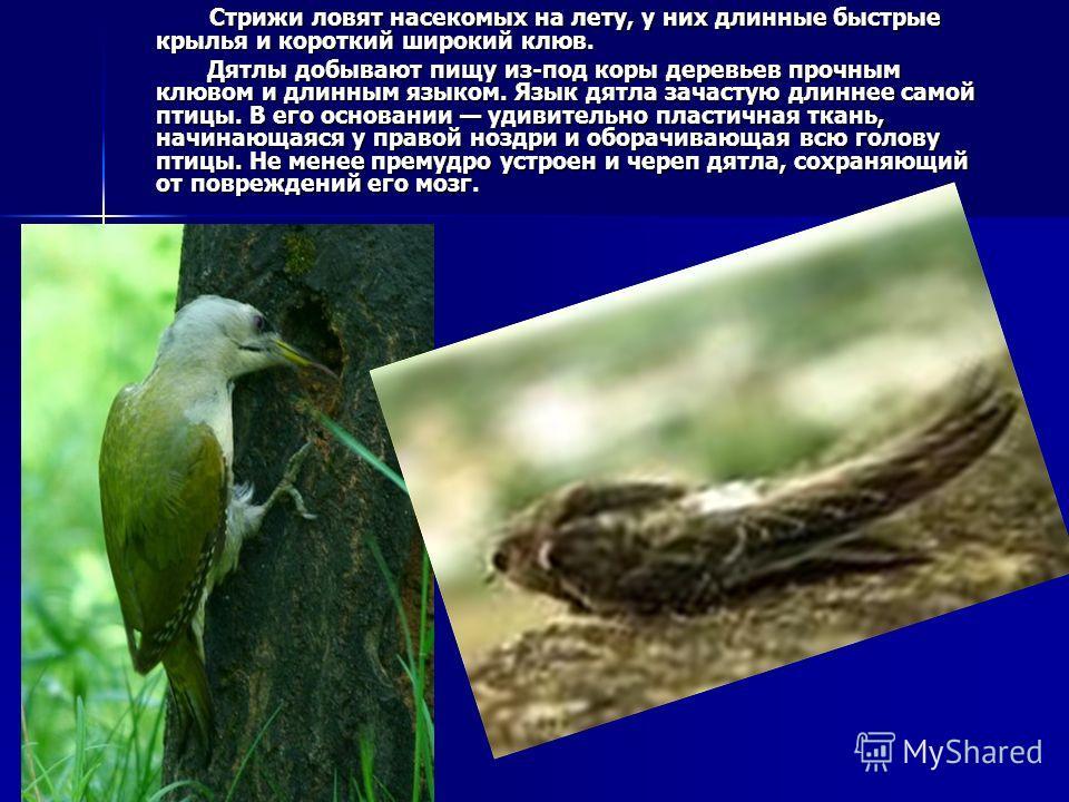 Стрижи ловят насекомых на лету, у них длинные быстрые крылья и короткий широкий клюв. Стрижи ловят насекомых на лету, у них длинные быстрые крылья и короткий широкий клюв. Дятлы добывают пищу из-под коры деревьев прочным клювом и длинным языком. Язык