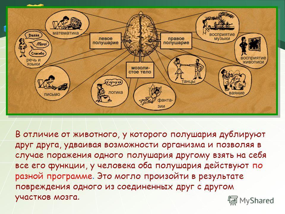 В отличие от животного, у которого полушария дублируют друг друга, удваивая возможности организма и позволяя в случае поражения одного полушария другому взять на себя все его функции, у человека оба полушария действуют по разной программе. Это могло
