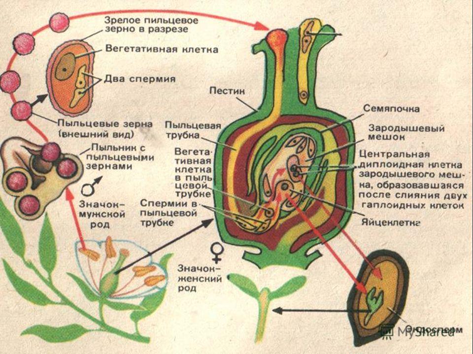Сразу же после оплодотворения яйцеклетка начинает делиться. В результате многократного деления формируется тело зародыша, которое постепенно врастает в массу эндосперма. Следовательно, в результате оплодотворения из яйцеклетки образуется зародыш, а и