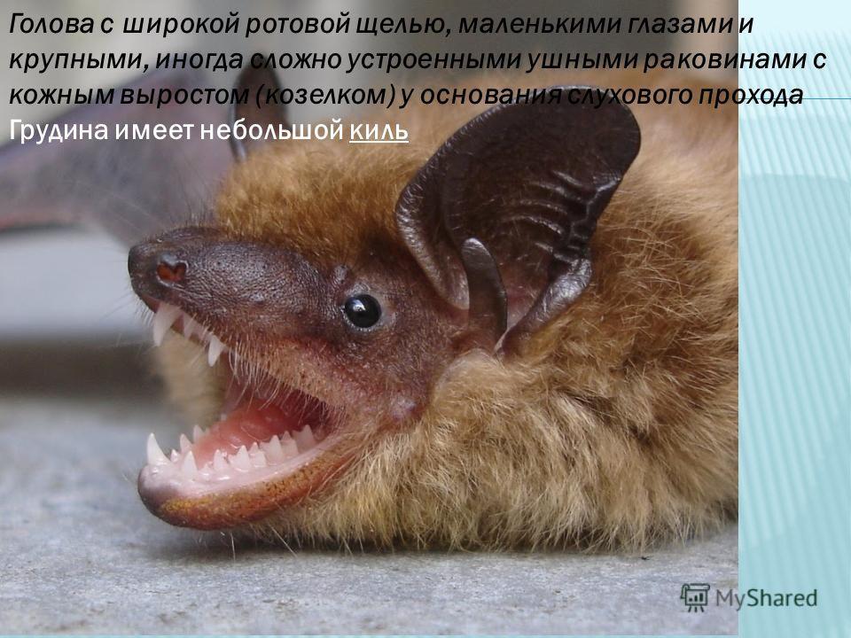 Голова с широкой ротовой щелью, маленькими глазами и крупными, иногда сложно устроенными ушными раковинами с кожным выростом (козелком) у основания слухового прохода Грудина имеет небольшой киль