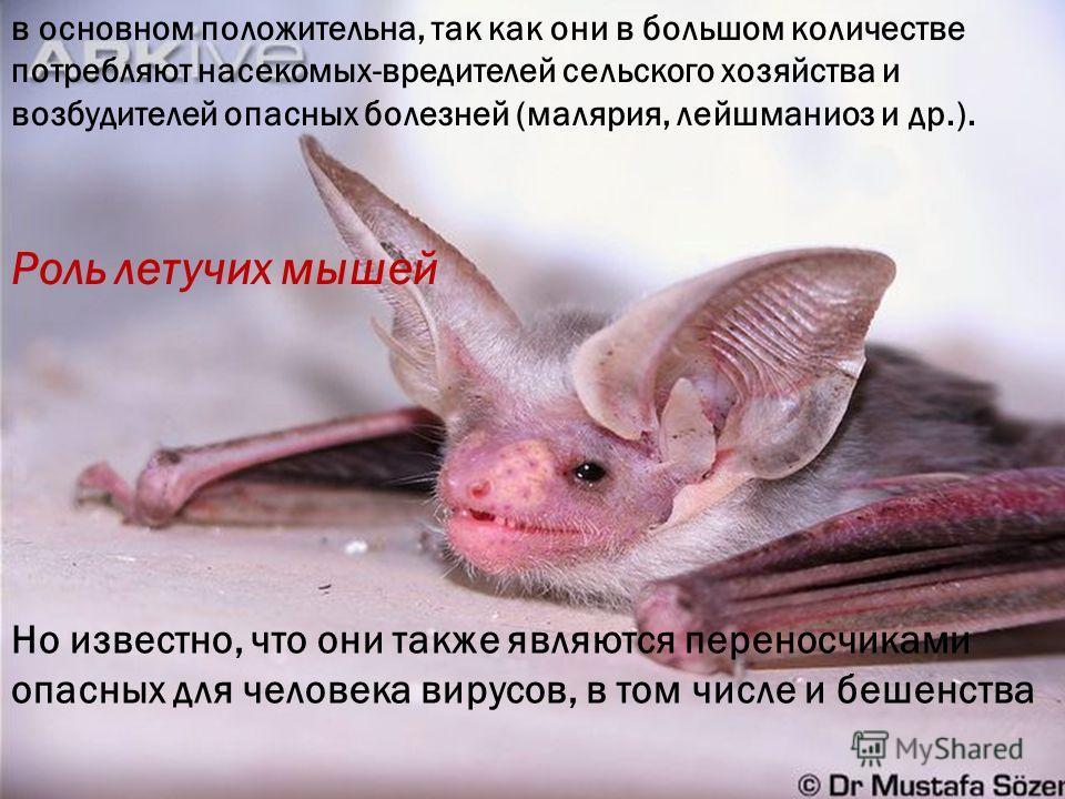 Роль летучих мышей Но известно, что они также являются переносчиками опасных для человека вирусов, в том числе и бешенства в основном положительна, так как они в большом количестве потребляют насекомых-вредителей сельского хозяйства и возбудителей оп