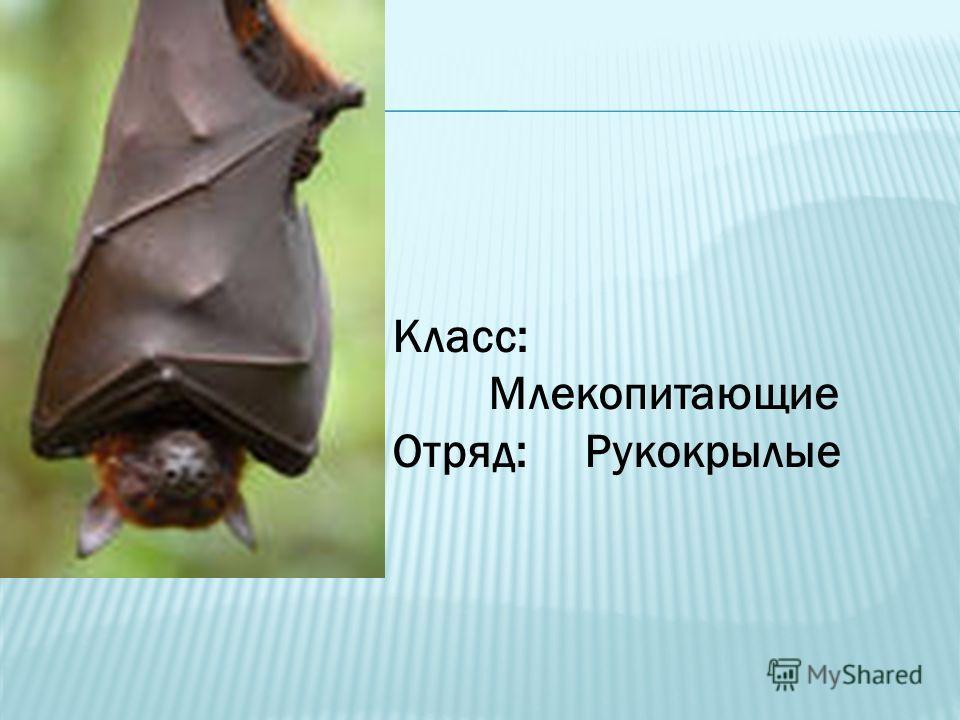 Класс: Млекопитающие Отряд: Рукокрылые