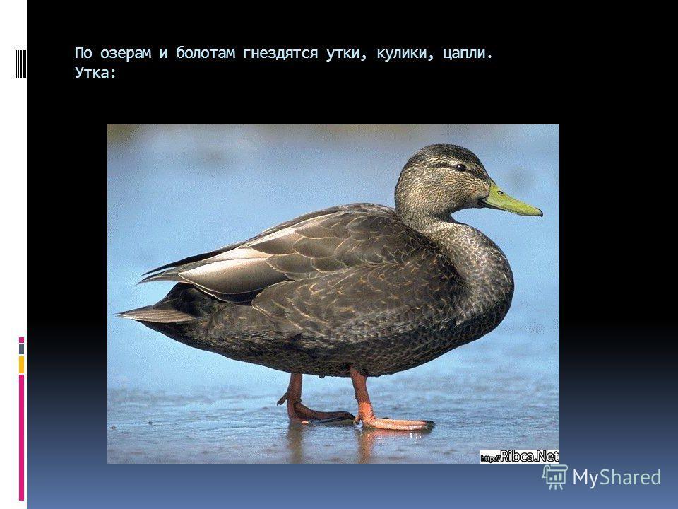 По озерам и болотам гнездятся утки, кулики, цапли. Утка: