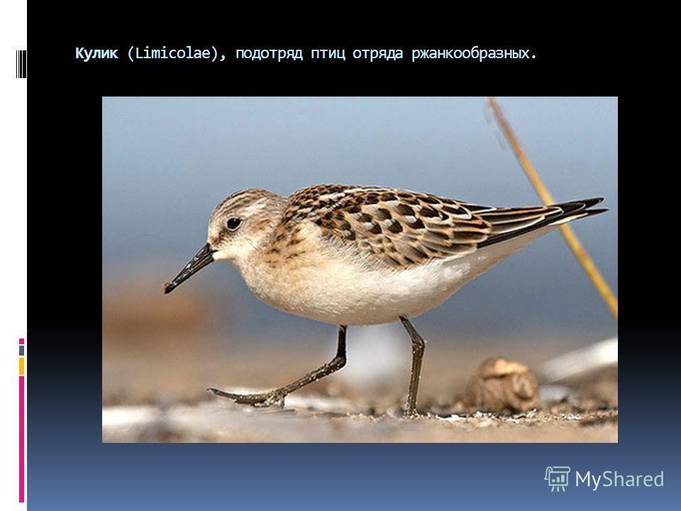 Кулик (Limicolae), подотряд птиц отряда ржанкообразных.