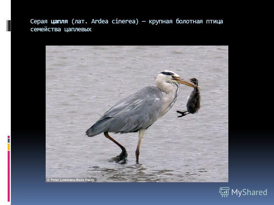 Серая цапля (лат. Ardea cinerea) крупная болотная птица семейства цаплевых
