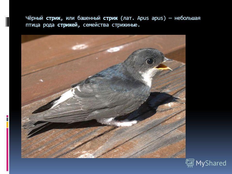 Чёрный стриж, или башенный стриж (лат. Apus apus) небольшая птица рода стрижей, семейства стрижиные.