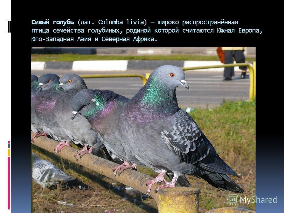 Сизый голубь (лат. Columba livia) широко распространённая птица семейства голубиных, родиной которой считаются Южная Европа, Юго-Западная Азия и Северная Африка.