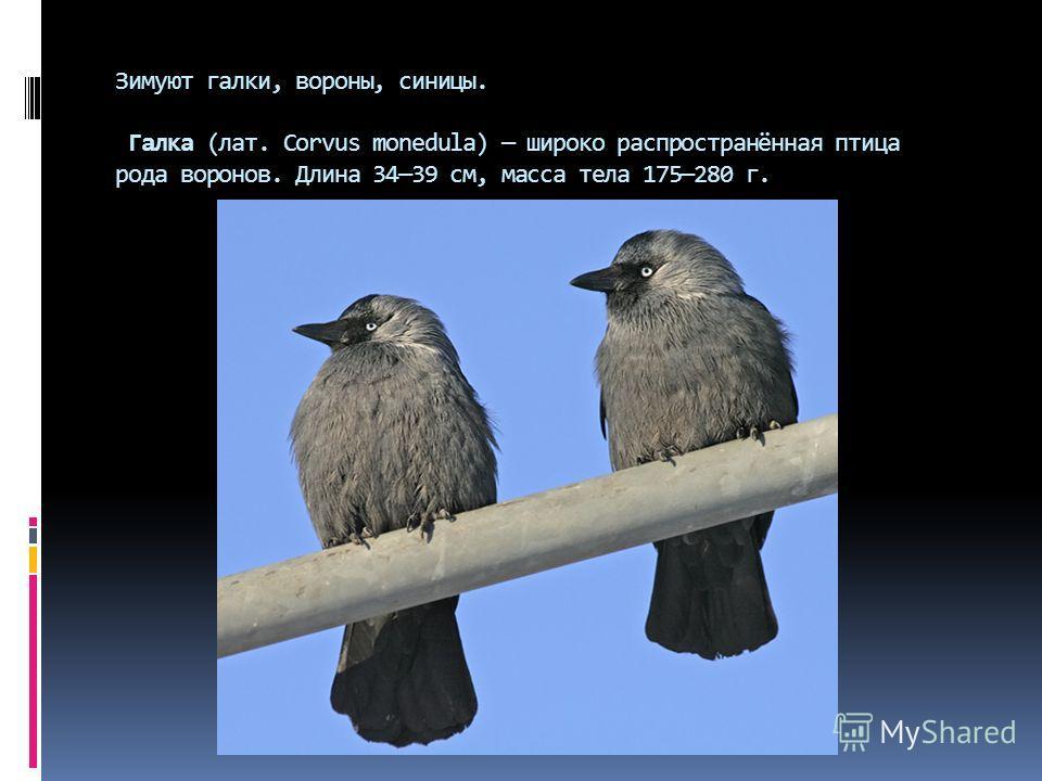 Зимуют галки, вороны, синицы. Галка (лат. Corvus monedula) широко распространённая птица рода воронов. Длина 3439 см, масса тела 175280 г.