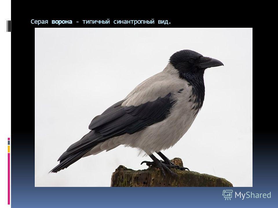 Серая ворона - типичный синантропный вид.