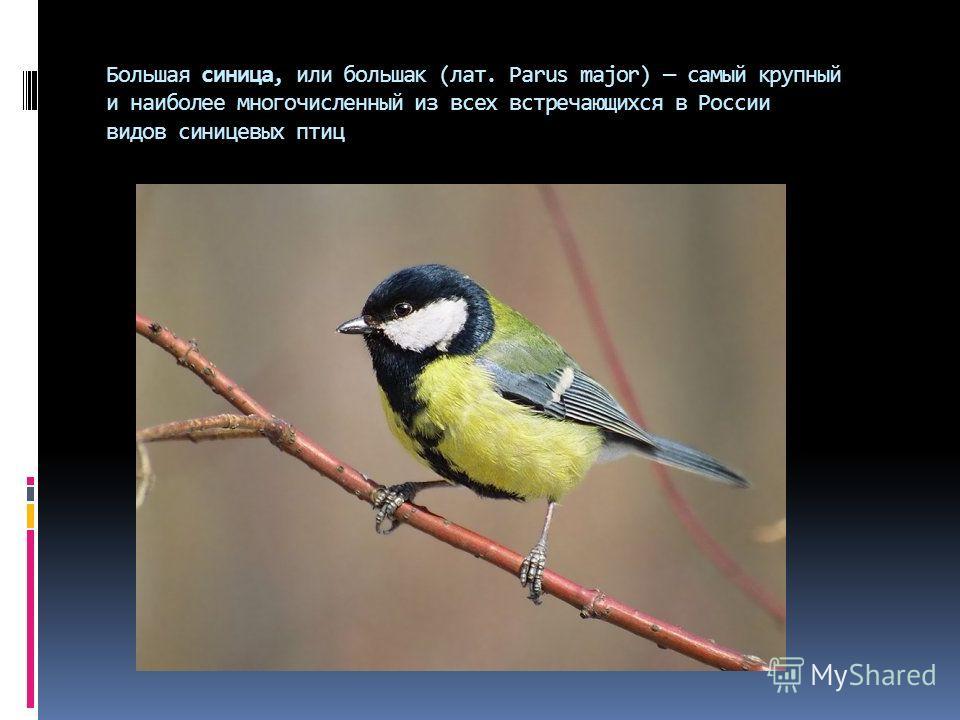 Большая синица, или большак (лат. Parus major) самый крупный и наиболее многочисленный из всех встречающихся в России видов синицевых птиц