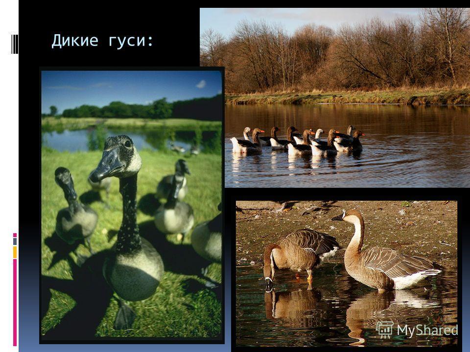 Дикие гуси: