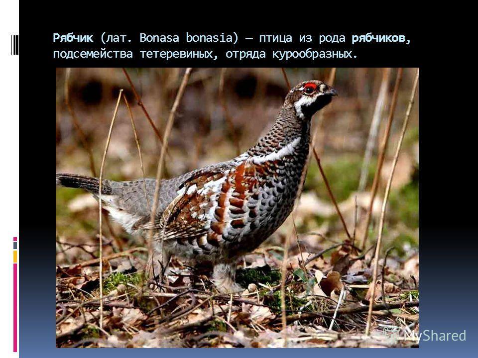 Рябчик (лат. Bonasa bonasia) птица из рода рябчиков, подсемейства тетеревиных, отряда курообразных.