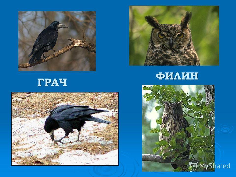 ГРАЧ ФИЛИН