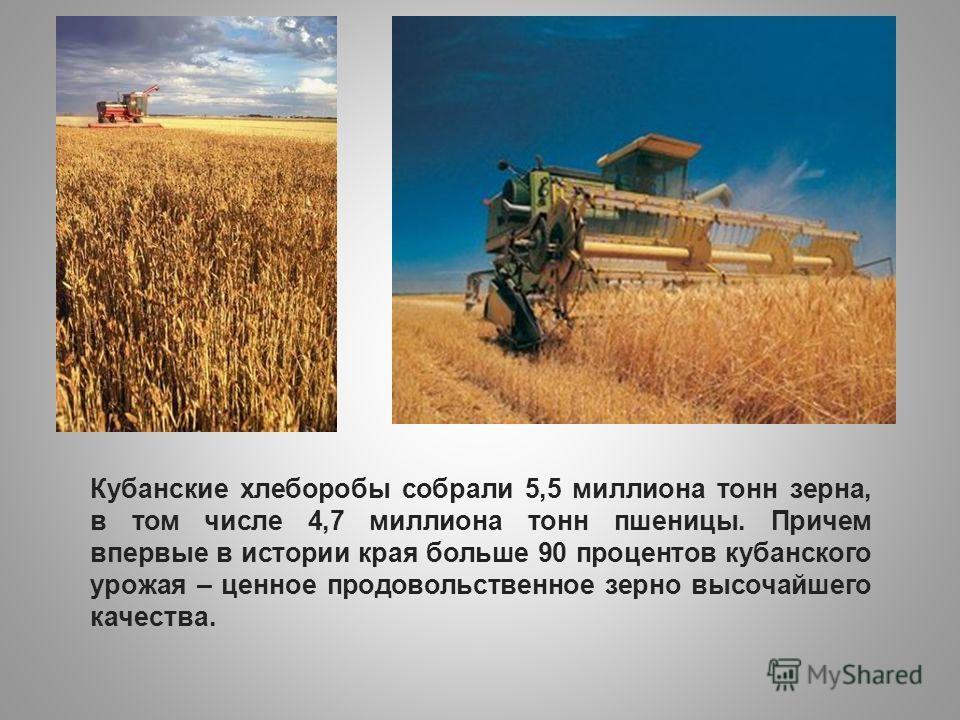 Кубанские хлеборобы собрали 5,5 миллиона тонн зерна, в том числе 4,7 миллиона тонн пшеницы. Причем впервые в истории края больше 90 процентов кубанского урожая – ценное продовольственное зерно высочайшего качества.