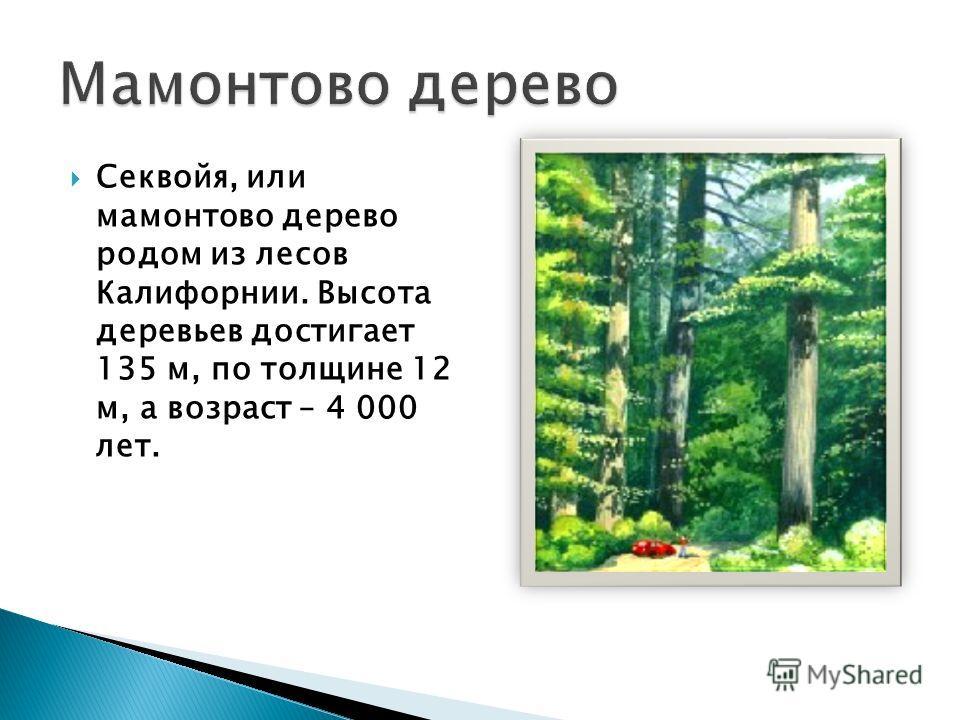 Секвойя, или мамонтово дерево родом из лесов Калифорнии. Высота деревьев достигает 135 м, по толщине 12 м, а возраст – 4 000 лет.