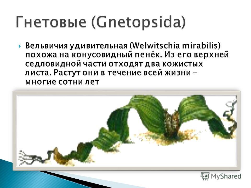 Вельвичия удивительная (Welwitschia mirabilis) похожа на конусовидный пенёк. Из его верхней седловидной части отходят два кожистых листа. Растут они в течение всей жизни – многие сотни лет