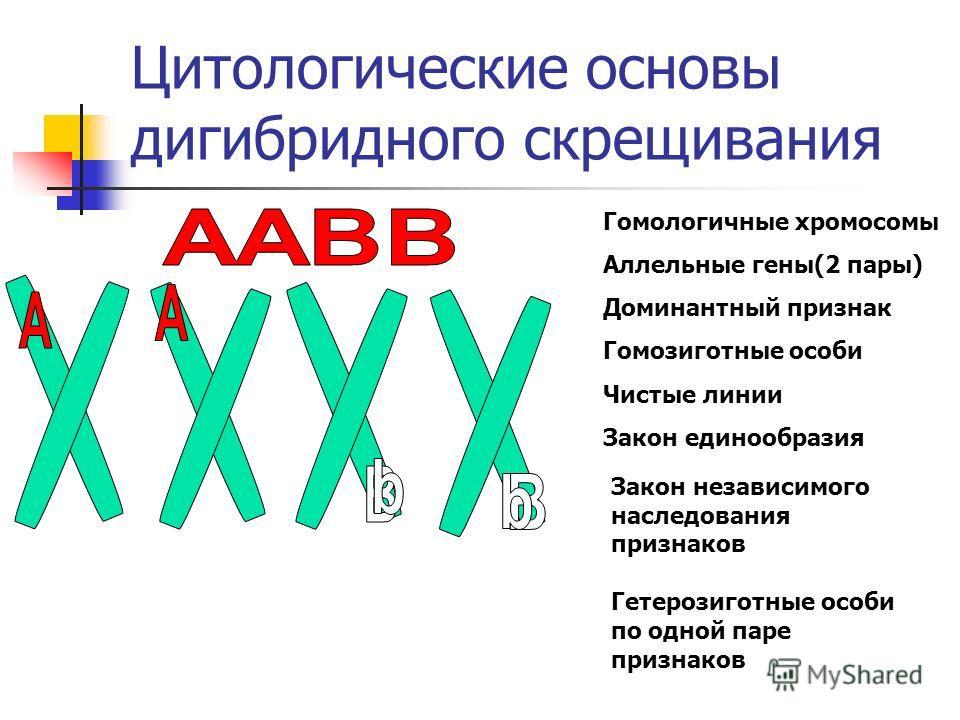 Цитологические основы дигибридного скрещивания Гомологичные хромосомы Аллельные гены(2 пары) Доминантный признак Гомозиготные особи Чистые линии Закон единообразия Закон независимого наследования признаков Гетерозиготные особи по одной паре признаков