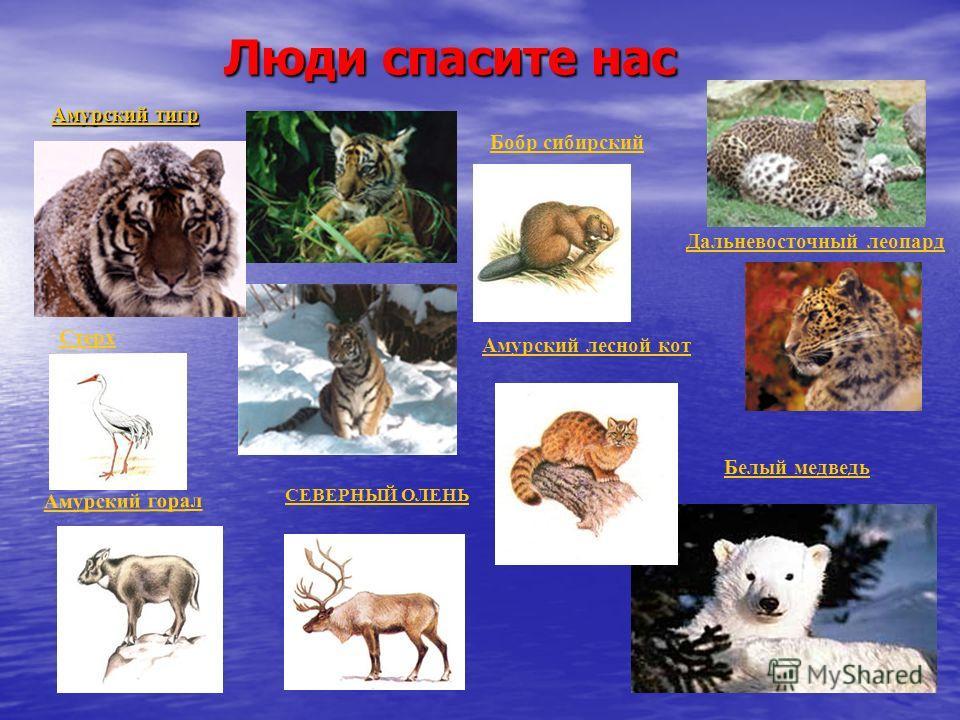 Люди спасите нас Люди спасите нас Амурский тигр Амурский тигр Дальневосточный леопард Белый медведь Стерх Бобр сибирский СЕВЕРНЫЙ ОЛЕНЬ Амурский лесной кот Амурский горал