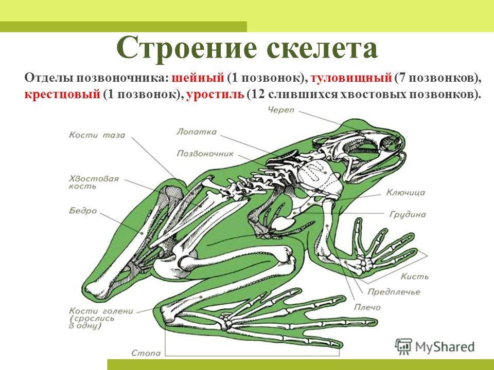 Строение скелета Отделы позвоночника: шейный (1 позвонок), туловищный (7 позвонков), крестцовый (1 позвонок), уростиль (12 слившихся хвостовых позвонков).